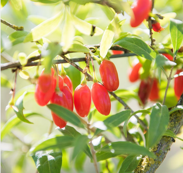 Gojoy Goji Berries